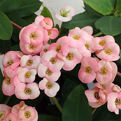 ハナキリン:八福神 ピンク系4号鉢植え[花キリン大輪の花を繰り返し咲かせます] ノーブランド品