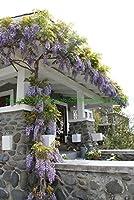 盆栽10個/盆栽藤の花ホットDIYの家の庭の装飾のための美しい販売パック:1