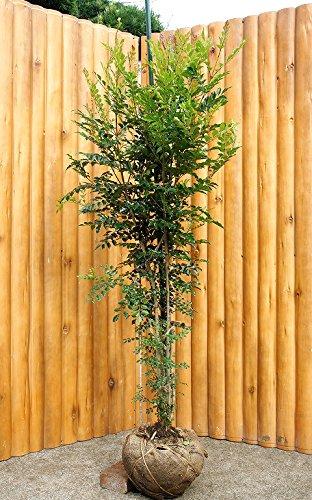 大人気!シマトネリコ 株立ち 樹高1.8m 生産者直売!シンボルツリーに最適♪