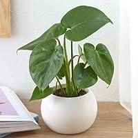【日比谷花壇 観葉植物】お手入れかんたん観葉植物「モンステラ(ホワイト)」