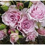 バラ苗 ラマリエ 国産新苗4号鉢 四季咲き中輪 ピンク系