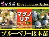 ブルーベリー 苗 マグノリア サザンハイブッシュ系 接ぎ木苗 【ブルーインパルス】 blueberry