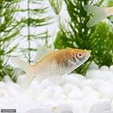 (国産金魚)アルビノコメット(1匹) 本州・四国限定[生体]