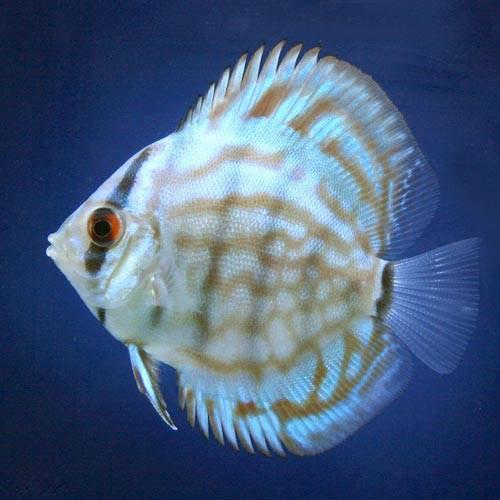 (熱帯魚)ブリリアントターコイズ・ディスカス(Sサイズ)(1匹) 本州・四国限定[生体]