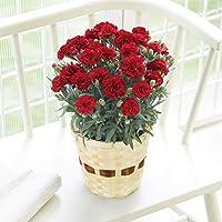 母の日 カーネーション レッド 鉢花 5号鉢 フラワーギフト プレゼント