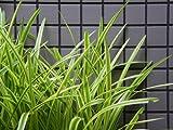 【6か月枯れ保証】【下草】斑入りヤブラン 0.1m