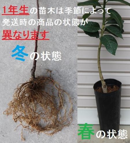 【渋柿苗木】 平核無柿 1年生苗 【ガーデンストーリーの果樹苗木】
