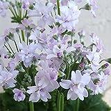 メロンの香りのプリムラ・マラコイデス メローシャワー ドリーム3.5号 2株セット ノーブランド品