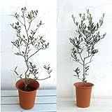 オリーブ2種セット:ネバティロブランコとフラントイオ6号ポット[受粉セット][苗木] ノーブランド品