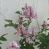 わい性ライラック:ジョシー5号ポット[四季咲き][開花予定株][早春の花木特集]