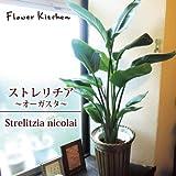 ストレリチア 7号鉢 オーガスタ  Strelitzia nicolai/ニコライ/Strelizia/