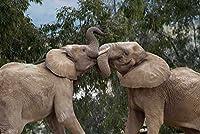 Posterazzi ポスタープリントコレクション アフリカの象のブルズ スパーリング アフリカのサンディエゴ動物園 (12×18) マルチカラー