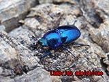 パプアキンイロクワガタ 種親ブルー系使用 ♀単品