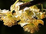 【6か月枯れ保証】【秋に収穫する果樹】キウイ/孫悟空(オス) 15cmポット