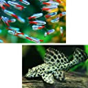 (熱帯魚)ネオンテトラ SMサイズ(約2cm) (12匹) + セルフィンプレコ(約5cm)(2匹) 生体