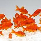 【生体】金魚  小赤 餌金 30匹 エサ用金魚 エサ用 観賞用