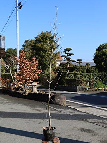 【1年間枯れ保証】【街路樹&公園樹】ヤマボウシ/ミルキーウェイ 1.0m10.5cmポット