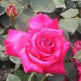 バラ苗 ベタータイムス 国産大苗6号スリット鉢 ハイブリッドティー(HT) 四季咲き大輪 ピンク系