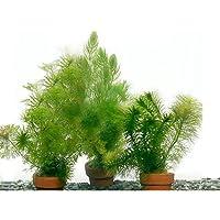 (水草 熱帯魚)メダカ・金魚藻 ミニ素焼き鉢(3鉢)