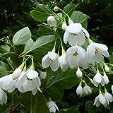 エゴノキ:オオエゴノキ3.5号ポット[芳香のある大輪白花品種] ノーブランド品