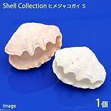 (海水魚 貝殻)シェルコレクション ヒメシャコガイ(かざりシャコガイ) おまかせカラー Sサイズ(1組)(形状お任せ) 本州・四国限定[生体]