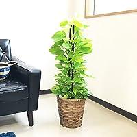 ポトス ライム 観葉植物 鉢カバー付 ヘゴ仕立て ライムグリーン ライムイエロー ポトス インテリア