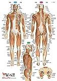 筋肉まるわかりシート―プラスチック下敷き 表層筋から深層筋まで