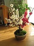 紅と白に咲く紅白梅 信楽焼き入り 紅白梅盆栽