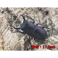 国産 コクワガタ 成虫 Sサイズペア(♂20.0mm~29.0㎜ ランダム) 【生体】