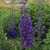 予約販売3月以降発送 宿根草の咲く庭 デルフィニウム ダークブルー 大苗12cmポット
