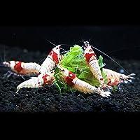 初心者向き レッドビーシュリンプ バンド・日の丸・モスラMIX 10匹+補償1匹(飼料3品付き)[生体]