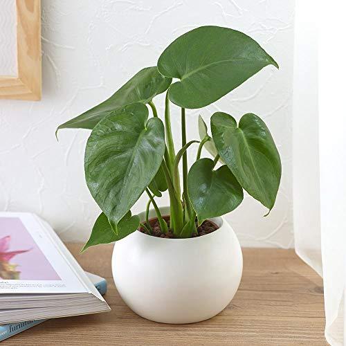 【日比谷花壇|観葉植物】お手入れかんたん観葉植物「モンステラ(ホワイト)」