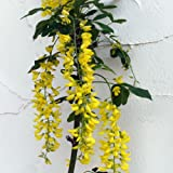 キングサリ4号ポット[藤のような明るい黄色の花が釣り下がる人気花木] ノーブランド品