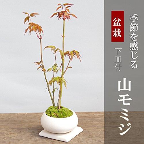 山紅葉(ヤマモミジ)の盆栽(白陶器鉢)・下皿セット】...