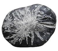 菊花石(黒色石灰質粘板岩中の方解石)10