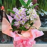 デンドロビューム ピンク 鉢植え お祝い・誕生日などのプゼントにかわいい蘭の花デンドロビウム