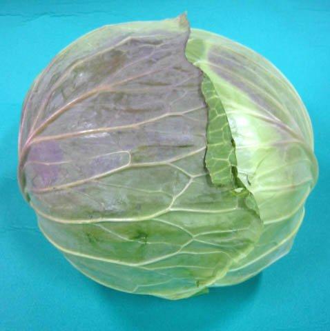 日常の一般野菜 キャベツ 1玉