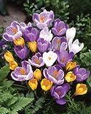 ◆オランダからの花便り 【愛らしい花姿】 クロッカス MIX10球