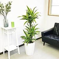 ドラセナ ワーネッキー レモンライム スタイリッシュな白色鉢カバー付 観葉植物 中型 大型 インテリア