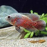 (熱帯魚)ルビーレッドオスカー(1匹) 本州・四国限定[生体]