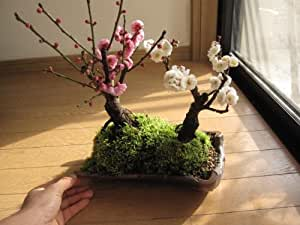 紅白梅盆栽寄せ植え  紅梅盆栽と 白梅盆栽の 二本の梅が 一つの鉢に   お祝いの 贈り物に 和の鉢植え盆栽