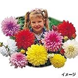 国華園 春植え球根 切花向き大輪ダリアセット 4色8球【※発送が国華園からの場合のみ正規品です】
