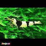 【BeeQuest】ブラック ビーシュリンプ バンド 鮮やかSグレード 10匹+補償1匹(飼料3品付き)[生体]