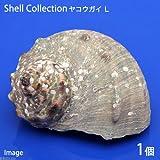 (海水魚 貝殻)シェルコレクション ヤコウガイ Lサイズ(1個)(形状お任せ) 本州・四国限定[生体]