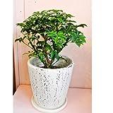 観葉植物 シェフレラ コンパクタ  クイーン 7号 陶器鉢入