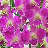 洋蘭 デンファレ 鉢植え ピンク系 3本立ち 花 ギフト