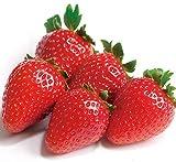 いちご 苗 おいCベリー 3号ポット苗 イチゴ