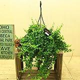 観葉植物:エスキナンサス ラスタ*吊り鉢