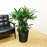 観音竹 カンノンチク 鉢カバー付 観葉植物 中型 大型 インテリア