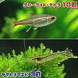 charm(チャーム) (熱帯魚)グローライト・テトラ(10匹) +ヤマトヌマエビ(3匹) 【生体】
